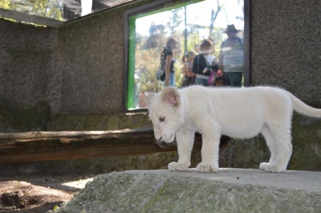 La cachorra de león blanco Nieve de Tlaxcala