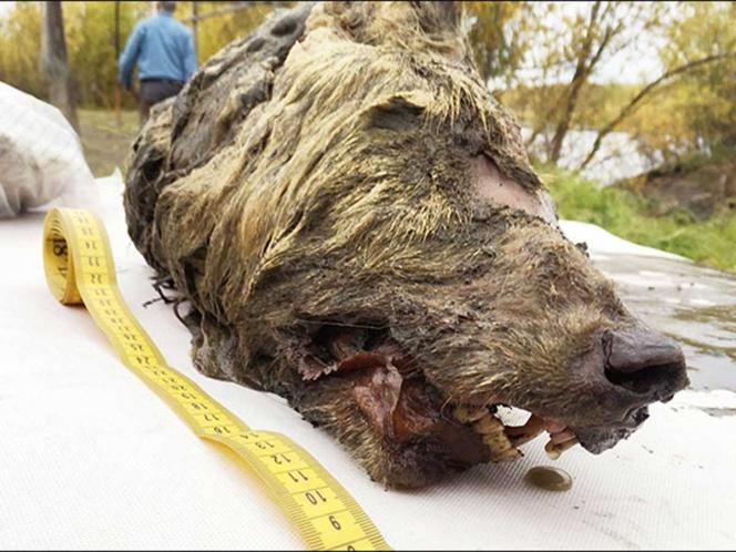 Sacan del hielo cabeza de un lobo prehistórico