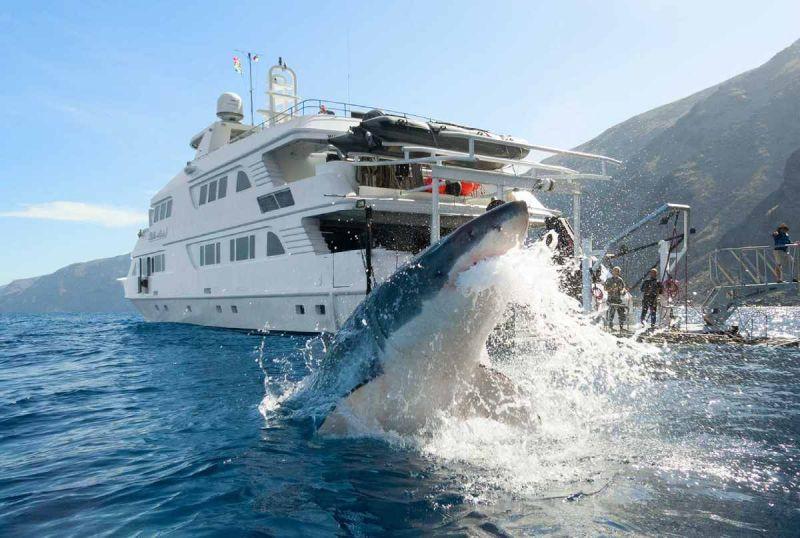 Continúa la caza del Tiburón blanco de BC por piratas chinos